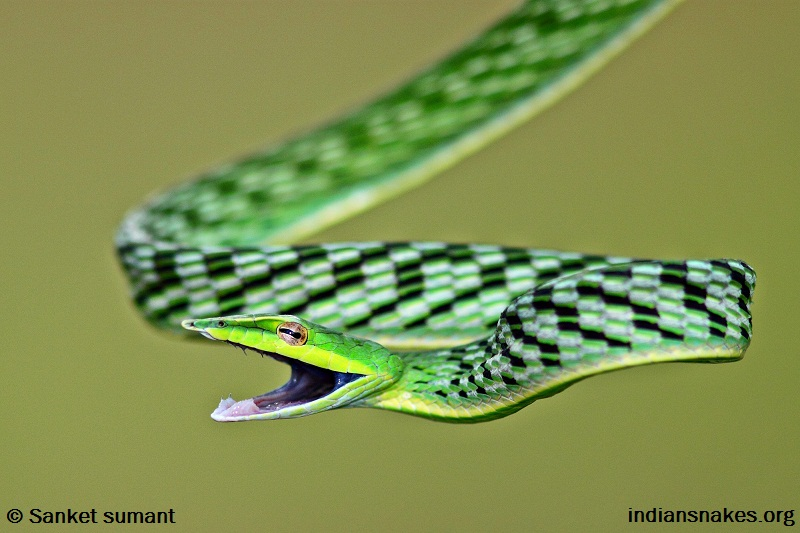 Indiansnakes org | For snakes & snake people