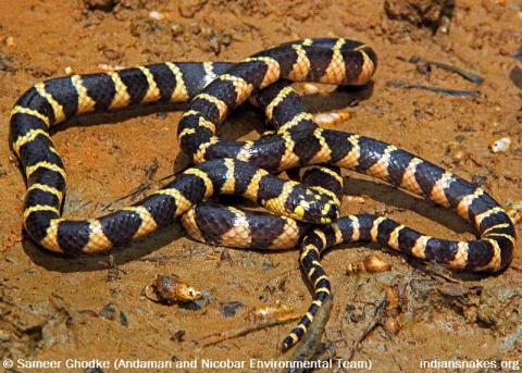 cantor s water snake indiansnakes org