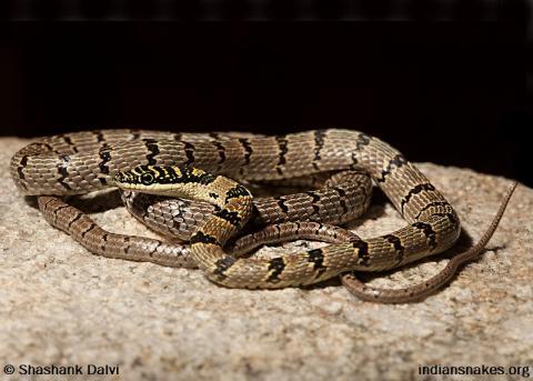 Sri Lanka Snakes