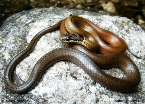 Collared Black-headed Snake | Indiansnakes.org