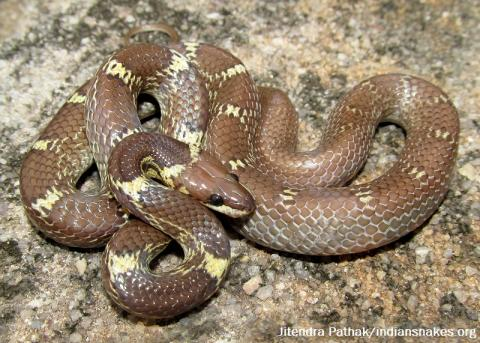 Common Wolf Snake | Indiansnakes org