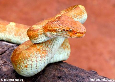 Malabar Pit Viper | Indiansnakes org