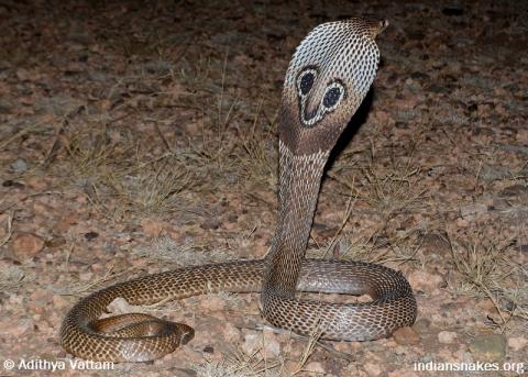 Naja naja (Indian cobra)