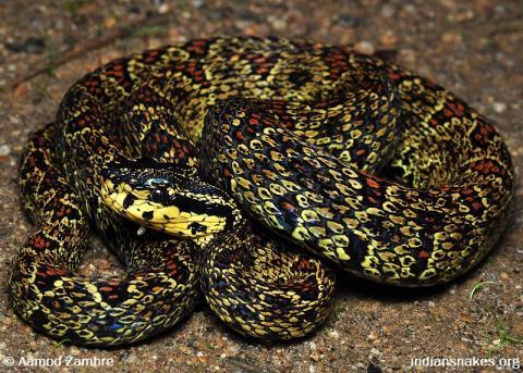 3d0763cf20 Jerdon s Pit Viper ( Protobothrops jerdonii Günther