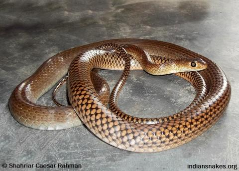 chinese art snake - photo #23